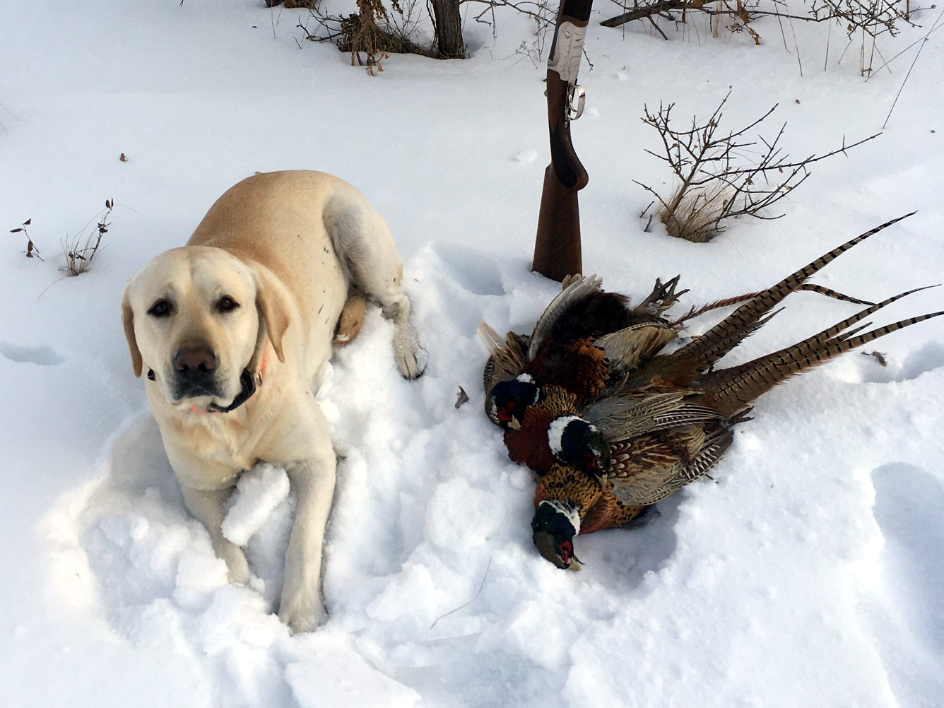Dog (lab) posed with 3 Pheasant's